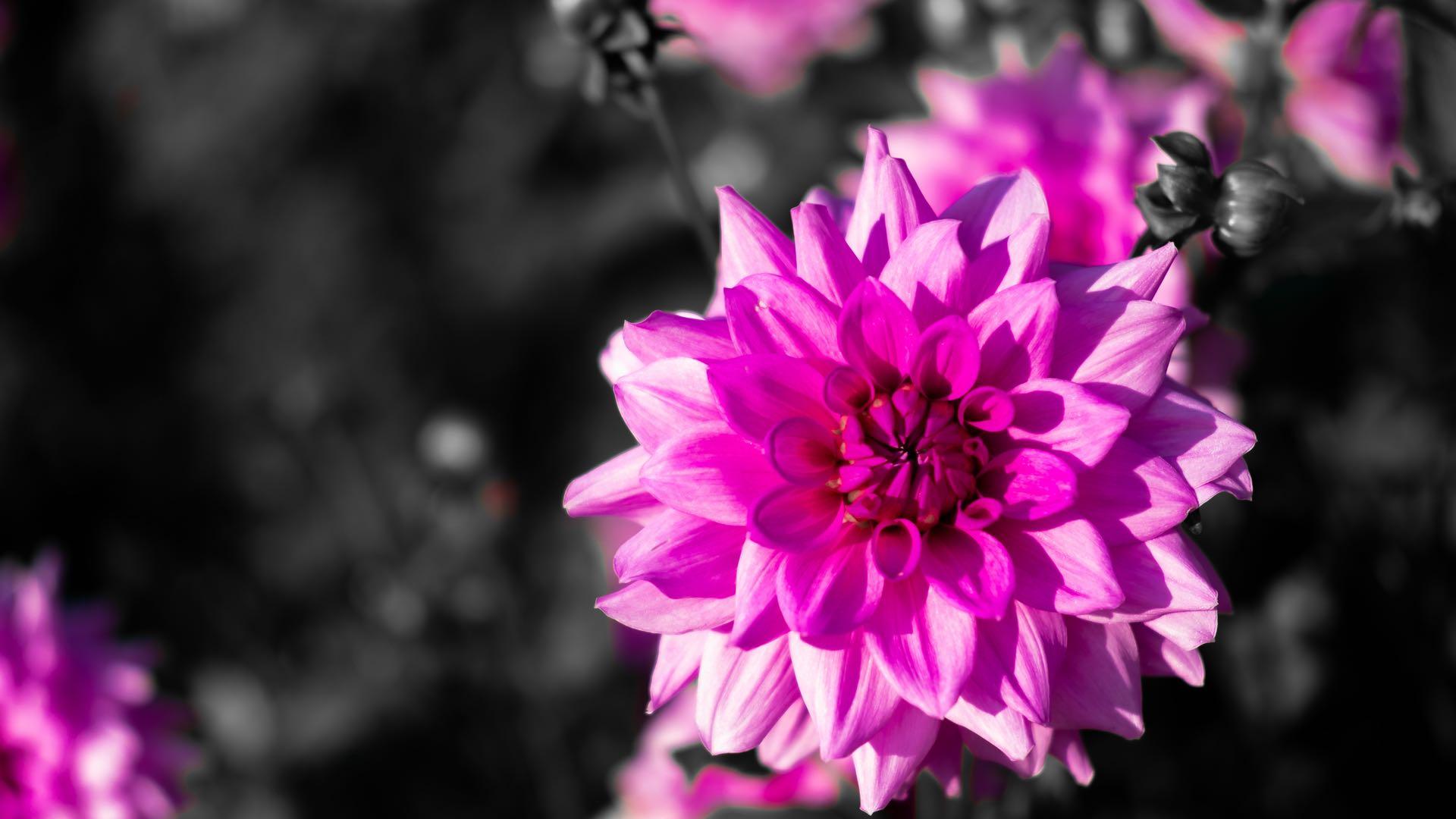 Black n Pink 1920x1080