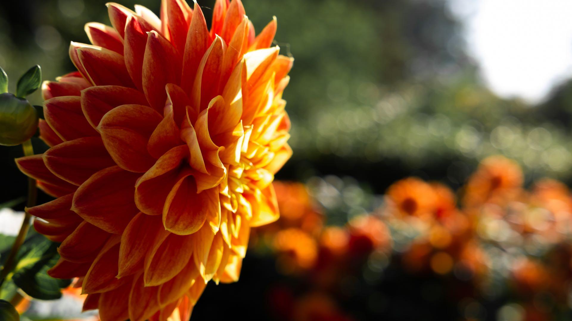 Orange Dahlia 1920x1080
