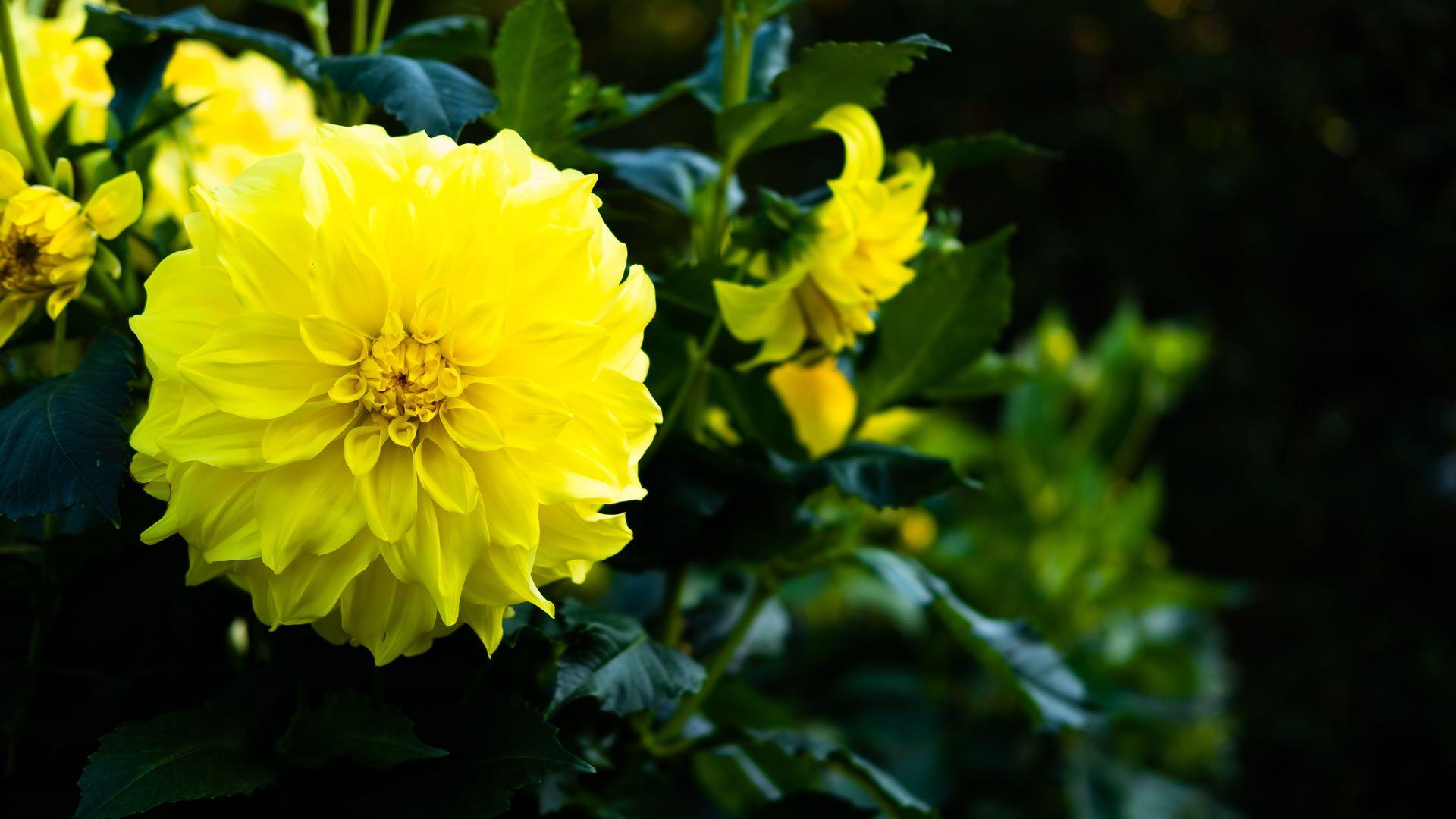 Yellow Dahlia 1920x1080